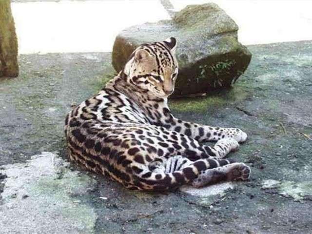 فهود اسود ونمور برية الحيوانات المفترسة feline25.jpg