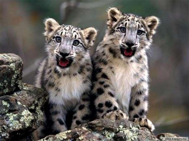 فهود اسود ونمور برية الحيوانات المفترسة feline22.jpg